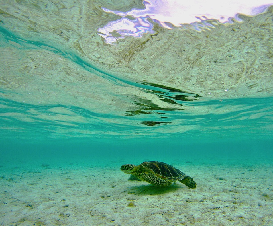 RS This turtle came right up to Marcus feet as he was fishing and later to me while snorkeling