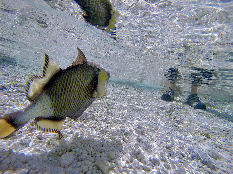 RS Titan Triggerfish are rare view of a very frenetic fish